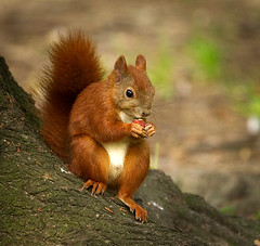 Boy, what a tasty nut! (hedera.baltica) Tags: squirrel redsquirrel wiewirka sciurusvulgaris eurasianredsquirrel wiewirkapospolita