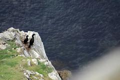 Cormoran hupp (Laura Carrier) Tags: france bird birds nikon european photographie bretagne du breizh cap pointe van shag oiseau oiseaux finistre cormoran phalacrocorax aristotelis hupp doiseau sizun cleden animalire d7000