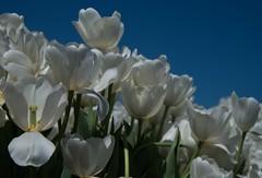 DSC_4090 (Copy) (pandjt) Tags: ca flowers canada bc britishcolumbia tulip abbotsford tulipfestival abbotsfordtulipfestival