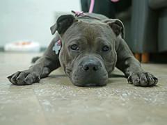 Frida_12 (AbbyB.) Tags: dog pet animal newjersey canine pitbull doggy shelter shelterpet petphotography easthanovernj mtpleasantanimalshelter