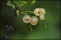 White currant (celestino2011) Tags: macro ribesbianco frutta verde natura nikon85macro