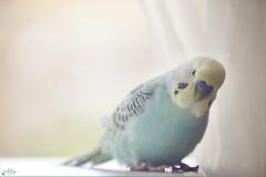 Chechu (Ali Llop) Tags: blue color male bird nature yellow spain colorful wildlife australian feather parrot parakeet friendly parrots castellón villarreal petanimal
