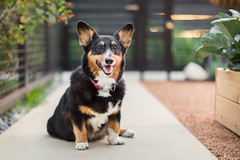Happy Tuesday  with Koda Bear (Brian.Buckler) Tags: city dog chicago color cute smile corgi bokeh pembrokewelshcorgi sidewalk canon5d fullframe tri 50l kodabear dogphotographer brianbuckler