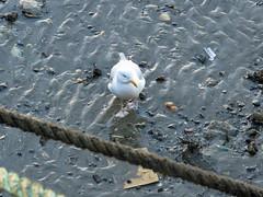 Common Gull (Larus canus) (Brian Carruthers-Dublin-Eire) Tags: bird gull cana common gaviota mew larus goland gavina laridae bn charadriiformes commongull canus laruscanus mewgull cendr stormmeeuw sturmmwe gaviotacana faoilen golandcendr eurasiatica gavinaeurasiatica faoilenbn