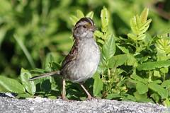 White-throated Sparrow (rwkphotos) Tags: canada novascotia whitethroatedsparrow zonotrichiaalbicollis