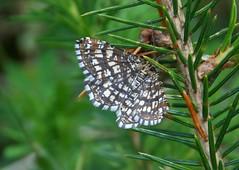 Latticed Heath - Chiasmia clathrata? (SAMARA: Back in damp Scotland!) Tags: june forest scotland moth glentrool latticedheath chiasmiaclathrata
