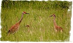 Family Time:  Sandhill Cranes in Wisconsin (J Henry G) Tags: birds flickr crane wisconsinwildlife johnhenrygremmer aroundlakepoygan sandhillcrameswisconsin