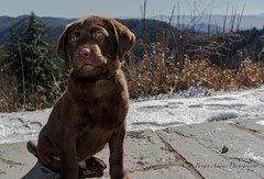Charlie's 1st trip to the mountains and playing in snow (Bryan Adams Photography) Tags: puppy labrador chocolate retriever labradorretriever
