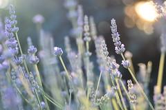 (Leela Channer) Tags: flowers blue sunset summer tree nature closeup golden evening purple lavender pale delicate goldenhour