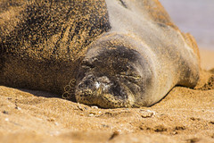 monkseal10Jun17-16 (divindk) Tags: hawaii hawaiianislands kauai neomonachusschauinslandi beach cute endangeredspecies hawaiianmonkseal lazy marine marinemammal monkseal seal sunshine whiskers