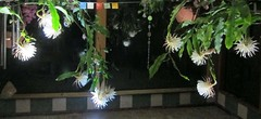 Night blooming Cereus out doing itself!  It smells heavenly! (Dazi May) Tags: night blooming cereus
