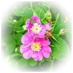 A wild rose (Brenda Boisvert) Tags: pink green leaves forest woods edited buds wildrose blooms vignette squarecrop psfix ipadair2