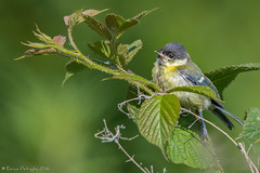 Pas trs en forme :( (DorianHunt) Tags: birds june switzerland bokeh sigma greattit 2016 150600mm nikond7200