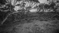 on the shore of the mallee sea (liam.jon_d) Tags: blackandwhite bw monochrome mono arty australian reserve australia environment sa eastern southaustralia lofty mountlofty mtlofty midnorth statereserve departmentofenvironment southaustralian caroonacreek billdoyle mountloftyranges caroonacreekconservationpark caroona conservationreserve easternscarp dewnr caroonacreekcp reservesystem