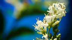 Fleurs sauvages (Yasmine Hens) Tags: blue white flower nature fleur europa flickr belgium sony ngc bleu promenade campagne blanc namur hens bloem balade yasmine wallonie fleursblanches fleurssauvages flawinne world100f iamflickr flickrunitedaward hensyasmine sonydscrx10m3