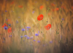 A dreamy poppy (David Go ~) Tags: flower nature germany landscape flora bokeh outdoor natur pflanze poppy poppies blume tamron landschaft mohnblume davego tiefenunschrfe davidgo canoneos6d