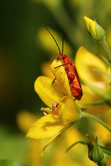 insects 2016-011 (swissnature3) Tags: macro nature animals wildlife insects