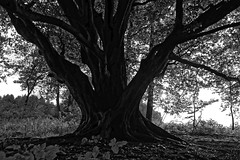 Buche am Fischteich - 2016 - 0005_Web (berni.radke) Tags: tree giant baum beech buche colossus riese fischteich dlmen hausdlmen
