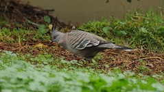Ocyphaps lophotes (Diana Padrn) Tags: bird birds ave aves australia victoria cussen park nature wildlife naturaleza humedal humedales crested pigeon paloma bronce crestada ocyphaps lophotes