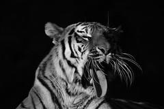 """Tg Nbg         """" langer Tag """"                160502 (Eddy L.) Tags: tiergartennrnberg tiergartenfreundenrnbergev nuremberg tiger tigress katinka sibirischertiger 752011 amurtiger ussuritiger pantheratigrisaltaica tigredesibrie siberiantiger amurskiytigr tigresiberiano portrait ghnend schwarzerhintergrund sw minoltaafreflex500 sonyphotographing schwarzweis wildcatworld wildfelinephotography bigcat monochrome blackwhite biancoenero blanconegro noiretblanc blackintheback"""