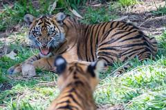 Sneak attack mode Denied ! (ToddLahman) Tags: canon teddy tiger tigers cathy debbie sumatrantiger joanne safaripark escondido canon100400 tigercub tigertrail sandiegozoosafaripark babysumatrantiger canon7dmkii