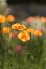 Poppies (mclcbooks) Tags: flowers flower floral colorado poppy poppies denverbotanicgardens