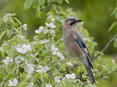 Eurasian Jay (Garrulus glandarius) (Jeluba) Tags: bird nature horizontal canon wildlife aves ornithology birdwatching oiseau eurasianjay garrulusglandarius eichelhher geaideschnes