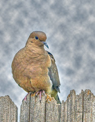 Mourning Dove (colorob) Tags: painterly colorado mourningdove littleton zenaidamacroura coloradowildlife colorob nikond800e