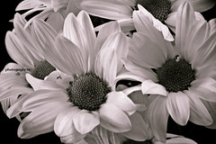 unexpected (BettieBlu) Tags: flowers bw monochrome daisies blackwhite shadows bettieblu