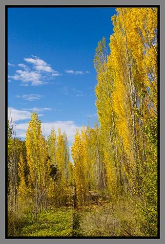 autumn tree leaves poplar poplartrees
