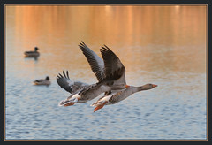 Greylag Geese (Full Moon Images) Tags: nature flying geese wildlife bcn flight reserve goose hide national trust fen cambridgeshire gordons greylag woodwalton nnr greatfen