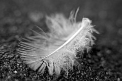 Plume (Caropaulus) Tags: macro blackwhite feather ethereal plume macromondays