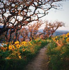 these magic hours of our days (manyfires) Tags: sunset film oregon analog mediumformat square landscape outdoors golden hiking hike hasselblad trail pacificnorthwest wildflowers pnw magichour balsamroot hasselblad500cm rowenacrest