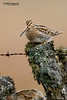 Common Snipe, Gallinago gallinago (Nigel Blake, 13 MILLION...Yay! Many thanks!) Tags: bird nature birds wall canon photography wildlife perched blake common nigel ornithology drystone snipe gallinago 600mm f4is eos1dsmkiii