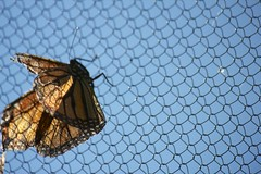 05.13.13 (colemama) Tags: butterfly freedom golden wings mesh barrier transparent sundrenched enclosure 2013365 dailyphoto13