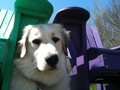 shady Sadie (ekpatterson) Tags: dog may sadie greatpyrenees 2013