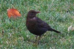 Amsel (MyWorldsView) Tags: bird nature animal closeup natur blackbird tier vogel amsel