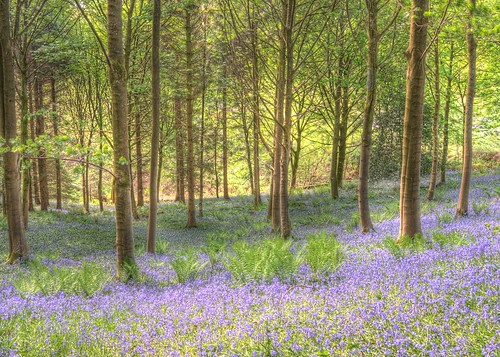 Bluebell Woods Haverthwaite