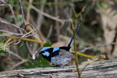 _DSC7289 (jun...z) Tags: bird nature bluewren