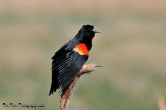 Red-winged Blackbird DSC_7989 (Ronaldok) Tags: canada bird nature birds fauna nikon alberta ornithology blackbird songbird redwinged redwingedblackbird agelaiusphoeniceus southernalberta d300s globalbirdtrekkers ronaldok nikond300s