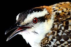 Saltapinuela / Rufous-naped Wren (SVALDVARD) Tags: bird birds aves nicaragua wren gabrielmartinez svaldvardink svaldvard