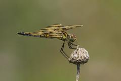 halloween pennant (robert salinas) Tags: dragonflies sigma odonata a57 hornsbybend