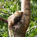 Zuidamerikaanse neusbeer