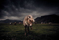 The Icelandic Horse (2) (oskarpall) Tags: