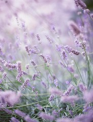 The quintessential south of France holidays shot (scarletd) Tags: flowers sunset summer france green film mediumformat holidays purple lavender provence 6x45 eze provenza lavanda frenchriviera contax645 fujipro400h carlzeissplanart80mmf20