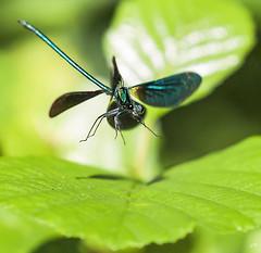Calopteryx Vierge  l'atterrissage (4). (gille33) Tags: macro nature insect dragonfly insecte libellule libellula calopteryx odonata odonate sonydslra900 mygearandme mygearandmepremium gillesremus flickrstruereflection1