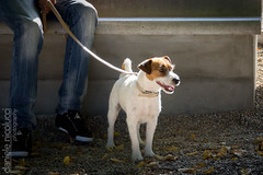 Jack Russell Hero (Daniele Nicolucci photography) Tags: light dog pet cute dogs animal puppy furry sweet adorable spotlight jackrussell villa gathering ready leash attention epic abruzzo chieti theate villacomunale