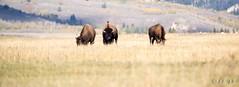 Teton Bisons (eds.photo) Tags: buffalo wildlife bison grandtetonnationalpark antelopeflats threebulls