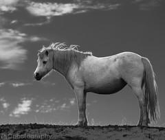 (tsd17) Tags: mono blackwhite pony newborough