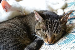 A Kitty Afternoon (timmerschester) Tags: sleeping cats michigan tabby caseville pals kitties snooze felines meowies